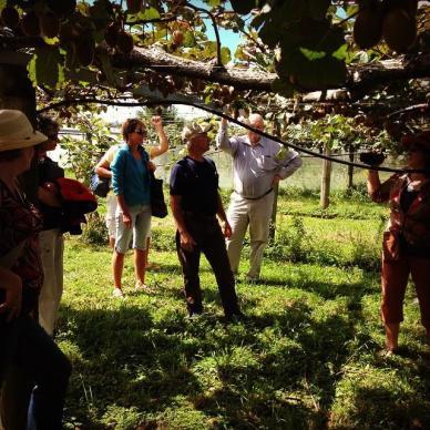 Amongst the Kiwifruit Vines